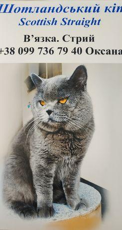 В'язка. Шотландський прямовухий кіт.