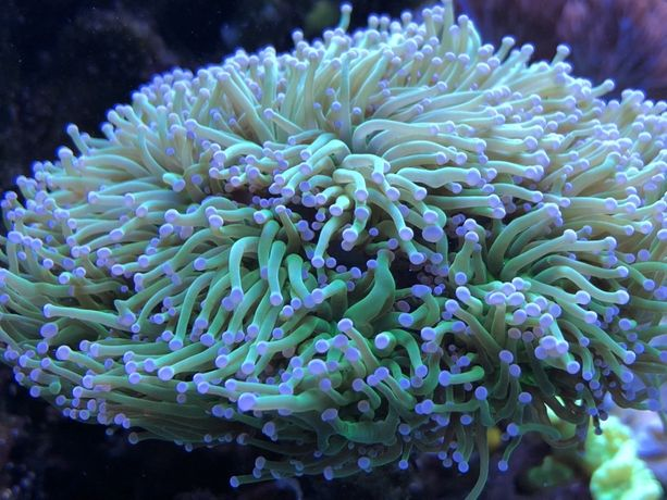 LPS Euphyllia glabrescens fluo szczepki korale morskie