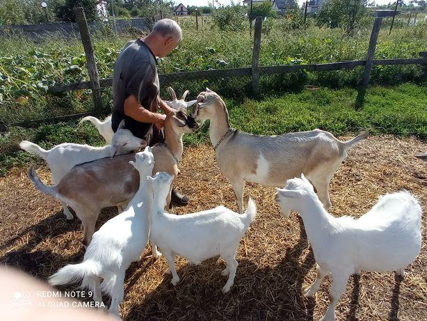 Продам дойных коз и козочек