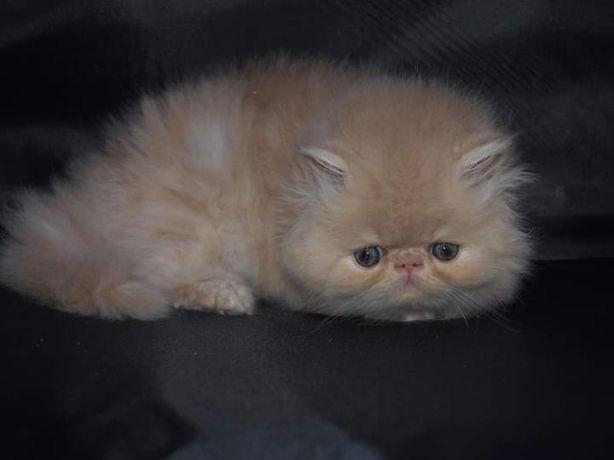 Питомник предлагает персидских котят