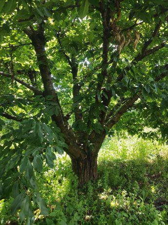 Oddam drzewo czereśnie czereśniowe