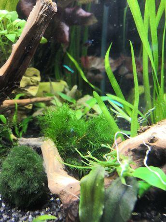Mech akwariowy Phoenix moss