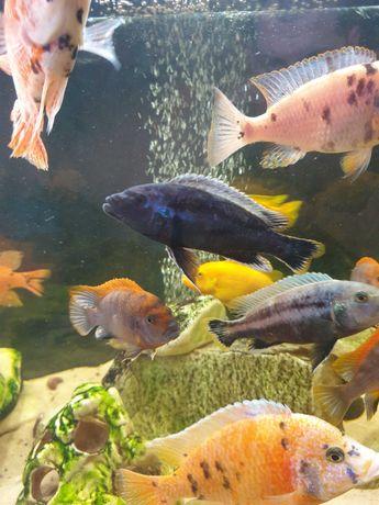 Аквариумные рыбки цихлиды Меланохромис Чипока (пара взрослых)