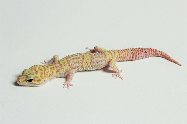 Gekon Lamparci Super Giant Pastel Raptor