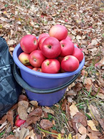 Яблоко зимнее разньіх сортов