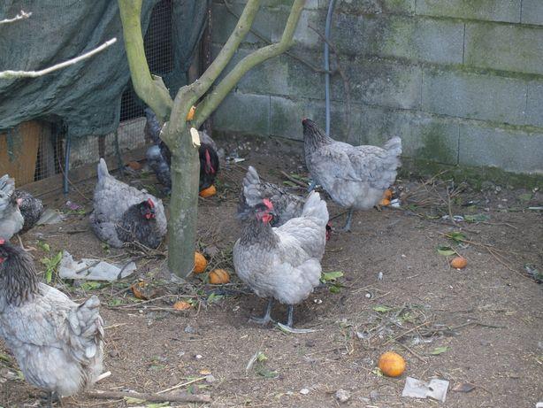 Ovos galados Galinha Jersey Azul,ou Preta,,o nº1, a vender ovos ,OLX