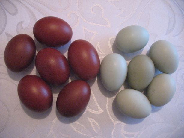 Jaja lęgowe araukana ogoniasta, marans czarnomiedziany niebieski