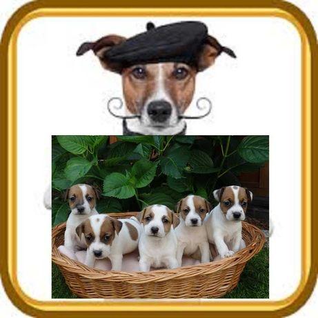 Jack Russell Terrier z renomowanej hodowli SMARTIE JACKS Bełchatów