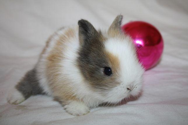 Супер мини кролики по самым доступным ценам в макеевке