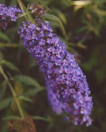 Budleja Davida - motyli krzew, kilka kolorów, pięknie kwitnąca
