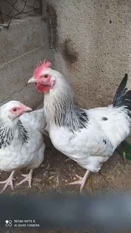Casal de galinhas Sussex light