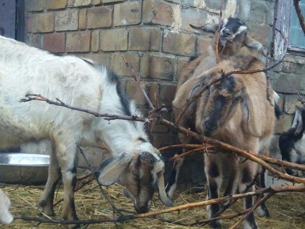 Коза козел козы