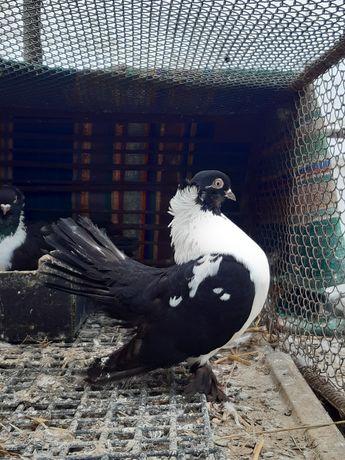 Samica białopierśna białopierśne ptaki gołębie ozdobne