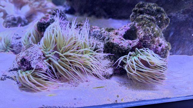 ukwiał anemonia viridis koralowiec