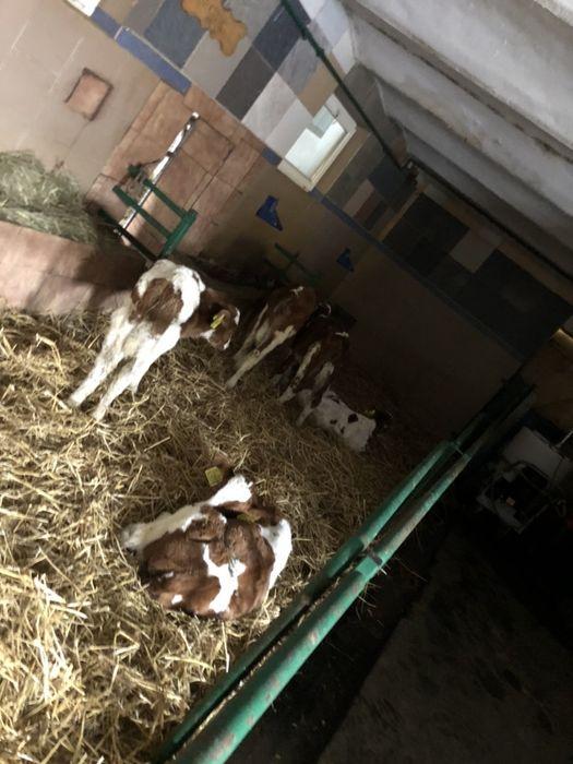 Byczki mięsne i mieszance Rypin - image 1