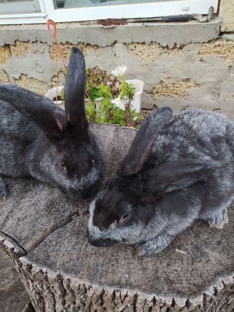 Кролики породы Полтавское серебро (самцы).