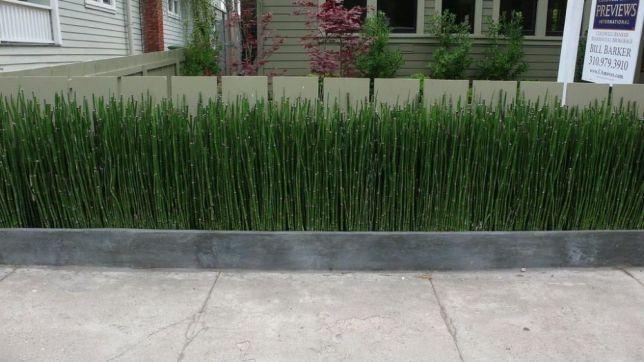 Бамбук - хвощ японский