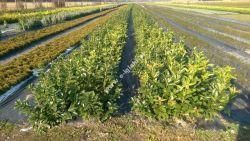 Rotundifolia 40-60 cm Leszno Laurowiśnia Zimozielony krzew Sadzonka Leszno - image 1