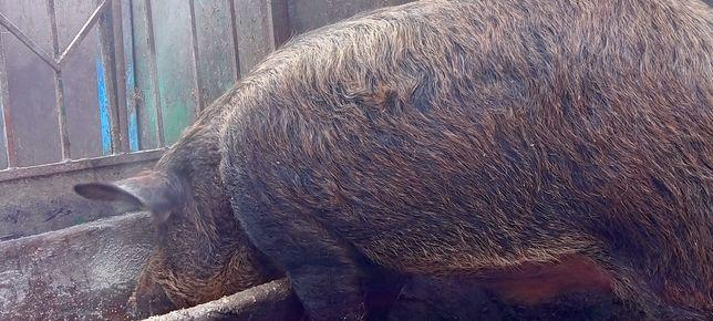 Свині на догодівлю  Мангалиця