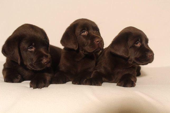 Labrador Retriever- czekoladowe szczenięta z kompletem szczepień