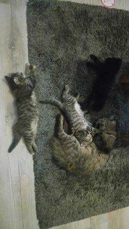 Oddam za darmo w dobre ręce małe kotki