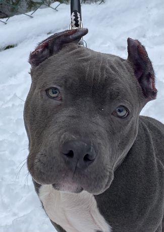 Голубой питбуль XXL male pit bull