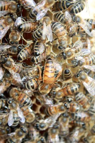 Продам семьи пчел, пчело-пакеты, отводки, с пчело-матками 2020-21г.
