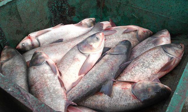 Толстолобий , Живая Рыба , Продажа