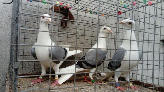 Gołębie Śląskie Tarczowe Siwe WYSYŁKA