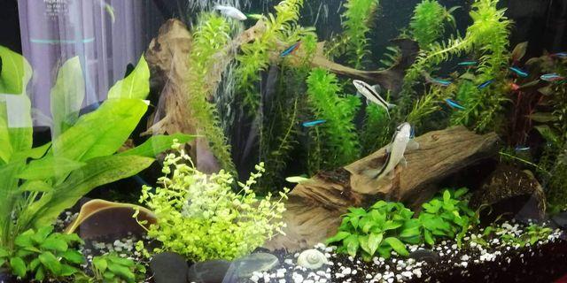 Akwarium+ rybki, rośliny, korzeń