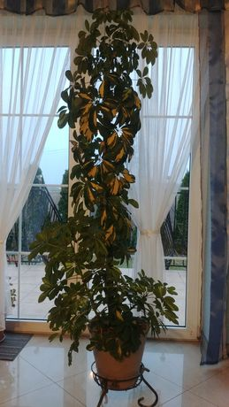 Kwiat szeflera drzewkowana, schefflera ok 170cm