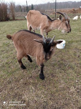 Koza mleczna z koziołkiem
