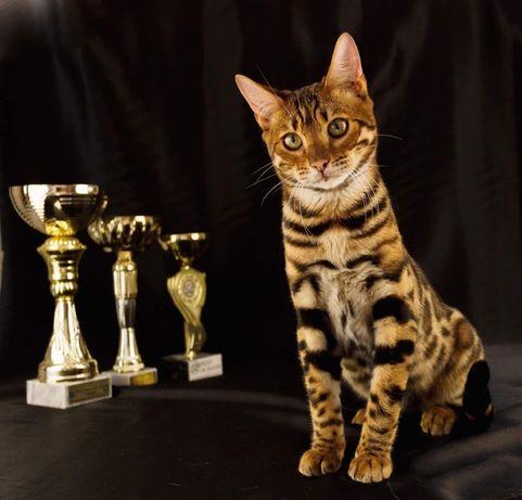 Продам Бенгалов котиков золотых