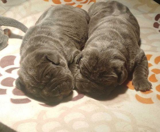 Mastino napoletano-fci mastif neapolitański błękitne szczeniaki Piękne