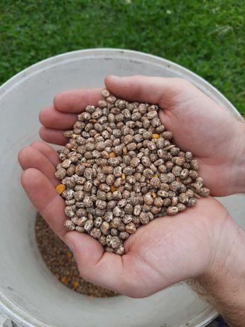 Łubin wąskolistny karo z ekologicznej uprawy bez nawozów sztucznych