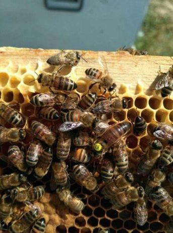 Sklenar L 47-3-70 Sklenar. Carnika. Матки, пчелиные. Материнки, F0.