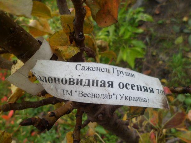 Груши колоновидные Сапфир и Осенняя