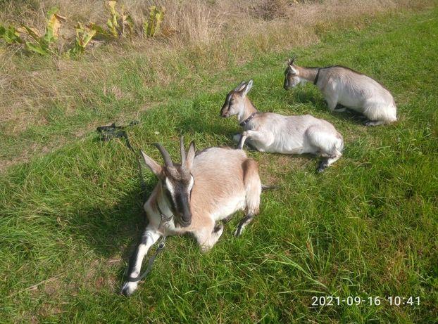 Продаються козы и козочки.