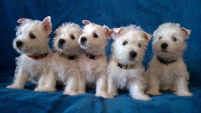 Szczenięta West Highland White Terrier rodowód ZKwP FCI po Czempionach
