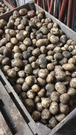 Ziemniaki drobne (odpadowe)