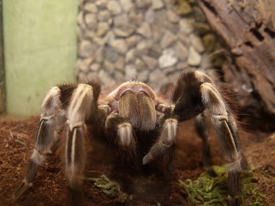 Nhandu chromatus L5 pająk, ptasznik,
