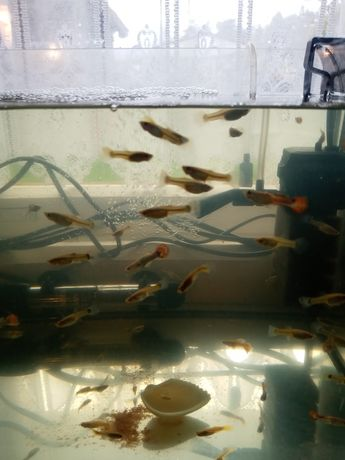 Sprzedam rybki gupiki i żółte molinezje
