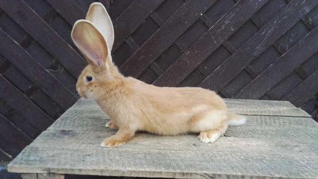 Królik, króliki belgijski olbrzym żółty