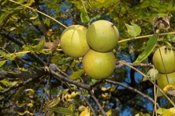 Семена Орех черный (американский) (Juglans nigra) 30грн-1кг