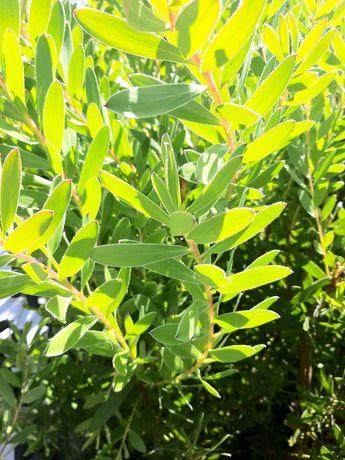 Vendo molhos de leucadendros verdes