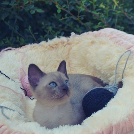 Тонкинский котенок (тонкинез) - лучший друг и компаньон!