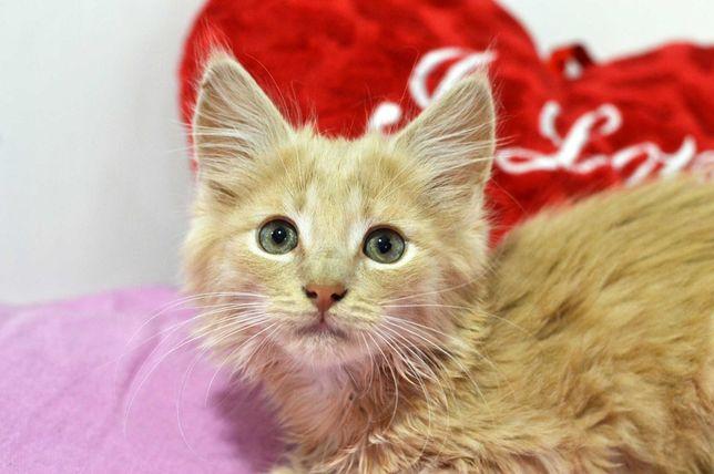 Ласкаве сонечко, ніжно-руде кошенятко Патрік, 3 міс. кот/кошка/котенок