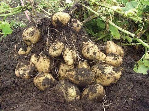 Домашня картопля сорт тайфун.