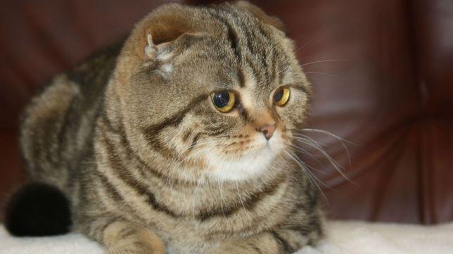 Продам кошку мрамор на золоте