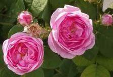 Чайная роза, саженец